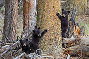 Three Black bear cubs climb a tree.
