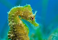 Short-snouted seahorse (Hippocampus hippocampus)