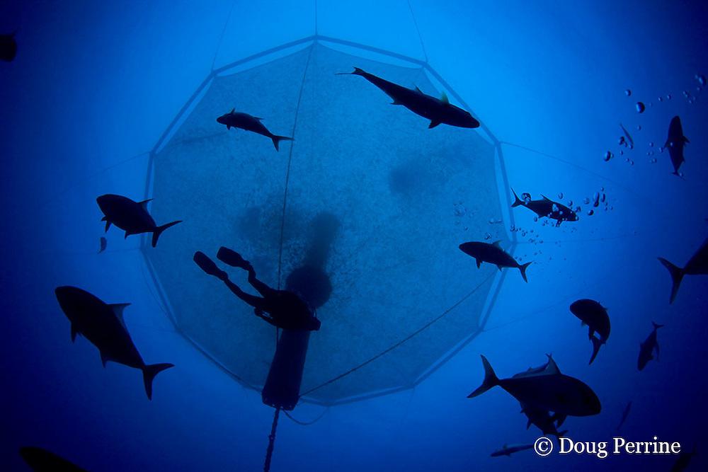 diver and wild jacks swim under underwater net cage used for open ocean fish pen aquaculture by Kona Blue Water Farms to grow out Kona kampachi, Seriola rivoliana, also known as Hawaiian yellowtail, kahala, or almaco jack, Kona Coast, Hawaii Island ( the Big Island ), Hawaiian Islands, USA ( Central Pacific Ocean )