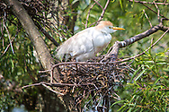 Cattle egret at a rookery in Lake Boeuf