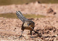 A female Great-tailed Grackle, Quiscalus mexicanus, picks up nesting material in the Riparian Preserve at Water Ranch, Gilbert, Arizona