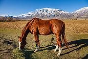 A horse eats hay on a ranch under the snowy Sierra Nevada, March 26, 2021, Round Valley, near Bishop, California, USA.