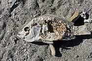 Randy Vanderveen.Salton Sea, California.A decaying fish carcass sits on the shoreline of the Salton Sea in Southern California.