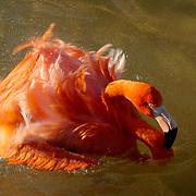 Caribbean or West Indian Flamingo (Phoenicopterus ruber ruber) Taking a bird bath. San Diego Zoo.  Captive Animal.