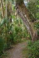 Trail passes under large oak and past sabal palms, Highlands Hammock State Park, Florida, © David A. Ponton