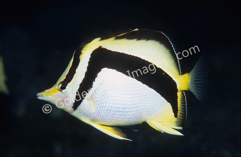 This beautiful yellow spotted butterfly fish is uncommon in California, but can be found around rocky reefs to depths of 500 feet.<br /> <br /> Range: Santa Catalina Island California to Galapagos Islands<br /> <br /> Species: Chaetodon falcifer