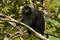 Black Colobus (Colobus satanus satanus) monkey.  Endangered Species (IUCN Red List: EN).<br /> Bioko Island, Equatorial Guinea.