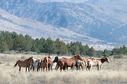 A herd of wild horses forms a tight group in a clearing at the base of the Steens mountains in southeastern Oregon