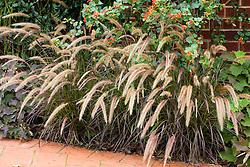 Pennisetum setaceum 'Rubrum' AGM - Fountain grass