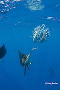 Atlantic sailfish, Istiophorus albicans, knocks one fish out of a bait ball of Spanish sardines (aka gilt sardine, pilchard, or round sardinella ), Sardinella aurita, off Yucatan Peninsula, Mexico ( Caribbean Sea ) #1 in sequence of 3 images