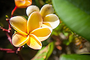 Yellow Plumeria Flower at the Botanical Garden Balboa Park