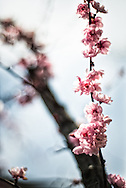 Delicate pink spring flowers blossom along the branches of a tree