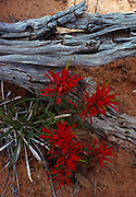 Indian Paintbrush, Devils Garden, Arches National Park, Utah.