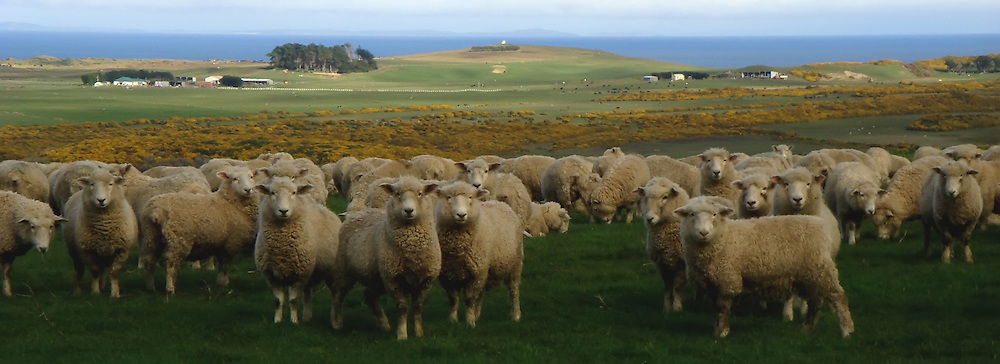 Sheep, Catlins, New Zealand (12x33 inch print)