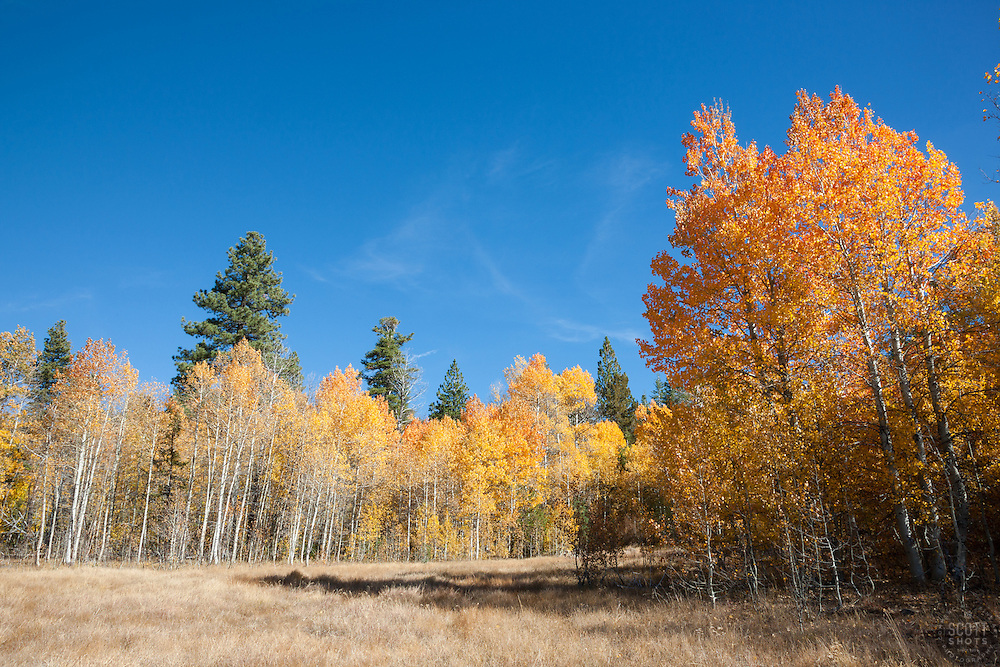 """""""Aspens at Klondike Meadow 4"""" - These yellow aspen trees were photographed in the fall at Klondike Meadow near Truckee, California."""