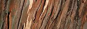 Eucalyptis Bark