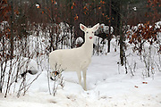 Albino (Leucistic) Whitetail Deer in Winter Habitat