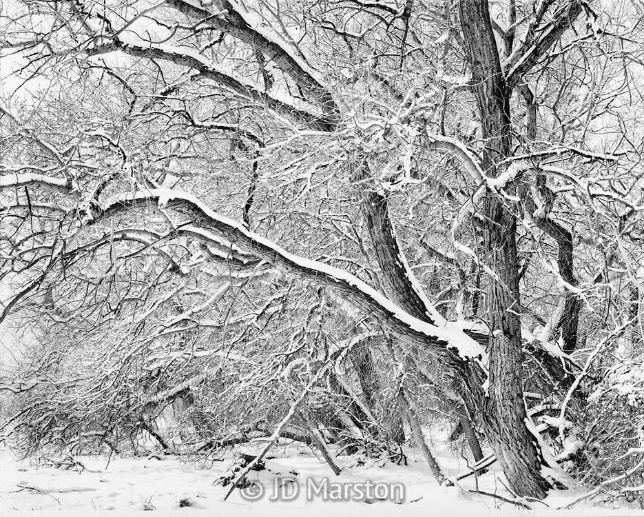 Cottonwood in Quiet Snow, Crestone, Colorado