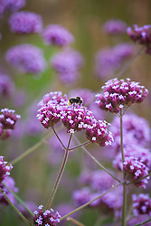 Bee on Verbena bonariensis