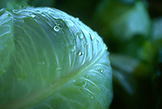 Close up selective focus photo of  a couple of Green Cabbages