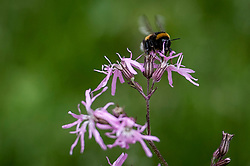 A bee on a flower at the RHS Chelsea Flower Show at the Royal Hospital Chelsea, London.
