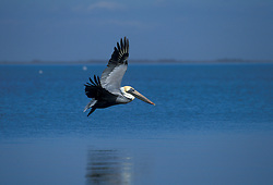 Brown Pelican (Pelicanus Occidentalis) in flight over ocean.