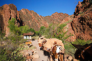 Mules on the South Kaibab Trail at the bottom of Grand Canyon National Park, Arizona.