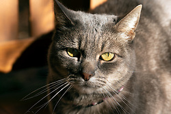A stray gray cat sits on the chair in front of an Oakland, Calif. home, Friday, Nov. 20, 2020. (Photo by D. Ross Cameron)