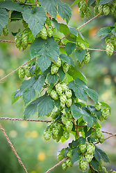 Hops (Humulus lupulus) growing up string support