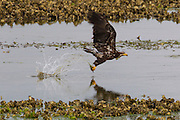 A juvenile bald eagle (Haliaeetus leucocephalus) takes off with a fish it caught in Hood Canal near Seabeck, Washington. Hundreds of eagles congregate in the area in the early summer to feast on migrating midshipman fish that get trapped in oyster beds during low tides.