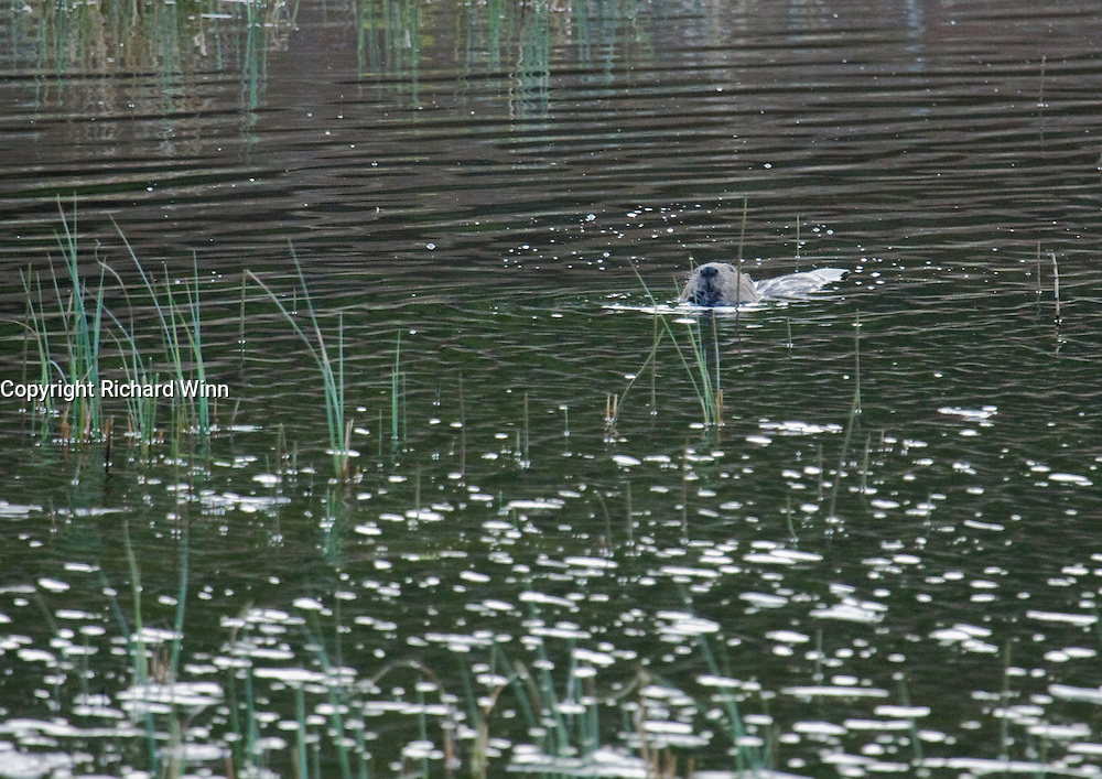 A European Beaver swimming at Loch Cuil na Caillach. Part of the proceeds will be donated to teh Aigas Trust, a charity offering environmental education to children.