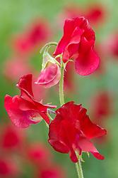 Lathyrus odoratus 'Winter Sunshine Scarlet' - Sweet pea