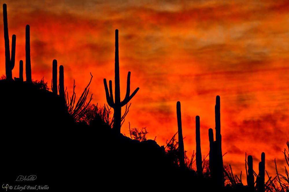 Saguaro cactus (Carnegiea gigantea) stand in silhouette before the clouds of a passing storm and veils of mist from the recent rain, glowing from the Arizona desert sunset.  The Saguaro cactus can grow 50-feet-tall, is composed of 85% water, and can weigh over 8 tons.  They are the largest member of the cactus family in the United States. Their skin is smooth and waxy with stout, 2-inch spines clustered on their ribs. The outer pulp can expand like an accordion when water is absorbed, increasing the diameter of the stem and raising its weight by up to a ton.  <br /> <br /> The Saguaro generally takes 47 to 67 years to attain a height of 6 feet, and can live for 150 – 200 years.  During that lifetime, a single cactus will produce 40 million seeds; however, in its harsh native environment, only one of these seeds will survive to replace the parent plant.  Indeed, young Saguaro's must start life under a tree or shrub to prevent them from desiccating.