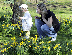 © under license to London News Pictures. .2011.03.07   Mum Sarah Falvey and 18 month old daughter Eva enjoy the spring daffodils in the sunshine today (Mon) in Orpington, South London. Picture credit should read Grant Falvey/London News Pictures.