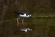 Black-necked Stilt (Himantopus mexicanus)<br /> Isabela Island, GALAPAGOS,  Ecuador, South America<br /> endemic subspecies