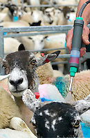 Treating sheep against blowfly with pour on insecticide, high-cis cypermethrin. Salt marsh sheep, Cumbria
