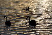 Sao Paulo_SP, Brasil...Marreco (Anas querquedula) e Cisne-negro (Cygnus atratus) no lago do Parque do Ibirapuera...A mallard (Anas querquedula) and black-swan (Cygnus atratus) in a lake of Ibirapuera Park...Foto: MARCUS DESIMONI / NITRO