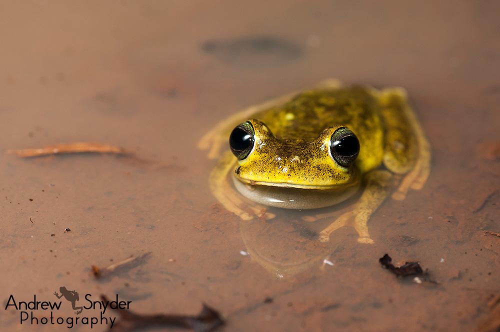 Emerald-eyed tree frog (Boana xerophylla) in situ. Iwokrama forest, Guyana.
