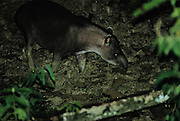 Brazillian Tapir at night in clay - Amazonia, Peru.
