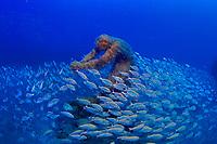 31/Octubre/2017 Islas Canarias. Lanzarote.<br /> Un cardumen de peces nada entre una de las figuras del Museo Atlántico de Lanzarote.<br /> <br /> ©JOAN COSTA