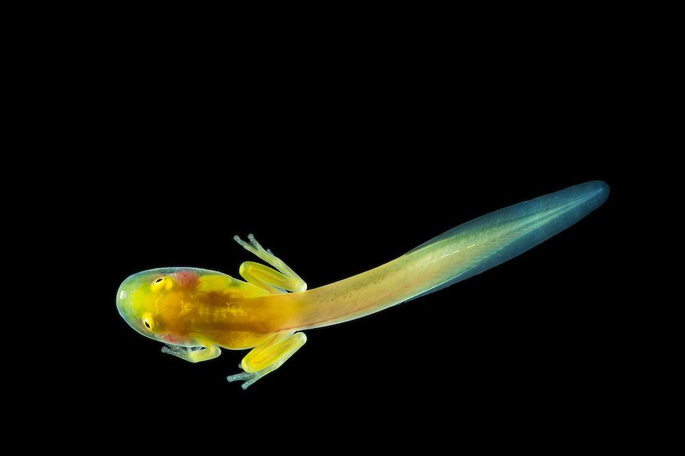 Sun's glass frog tadpole (Hyalinobatrachium aureoguttatum) CAPTIVE breeding program at Wikiri Selva Viva<br /> ECUADOR. South America<br /> Habitat & range: Western humid forests & foothills of se Panama, Pacific lowlands of Colombia to nw Ecuador<br /> Near Threatened species