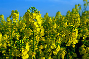 AF5CP7 Oil seed rape yellow flowers against blue sky