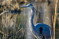 Great Blue Heron, Blackwater National Wildlife Refuge, Cambridge, Maryland.