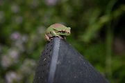 Green frog on a watering can in Lagrasse, Languedoc-Roussillon, France. Lagrasse is known as one of the most beautiful French villages.