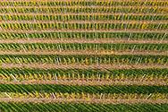 Nederland, Waalwijk, 20181016<br /> Boomgaard van een fruitteler  <br /> <br /> Foto (c) Michiel Wijnbergh