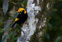 Regent Bowerbird (Sericulus chrysocephalus) male in tree.  Lamington National Park, Queensland.