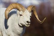 Portrait of a dall Sheep ram.