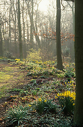 Early morning in the woodland garden at Beth Chatto's with sunlight breaking through the mist.