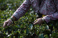 Fair trad pluckers harvest tea leaves in Ambootia, Darjeeling,