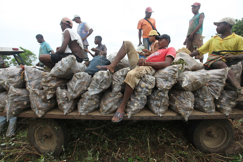 Farmhands on top of their harvest of cassava on a tractor trailer. Finca La Alemania, Sucre, Colombia. The farm had been subject to threats and their community leader Rogelio Martinez was assassinated by masked men a month prior.